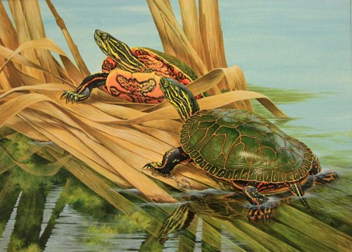 20_15_w_painted_turtle_turenne_600