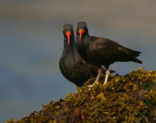 Black Oystercatcher by Ram Papish