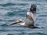 brown_pelican_munsel