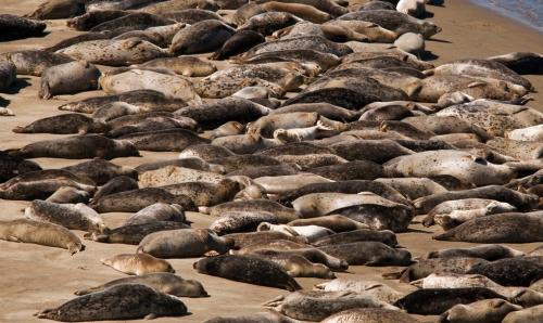 Harbor seals at a haul out spot in Alsea Bay.