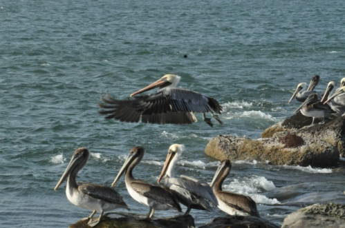 Brown pelicans rest on a finger jetty in Yaquina Bay. (Photo by Larry Coonrod)