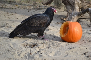 Olive the turkey vulture pauses from picking on a pumpkin during an enrichment session at the Aquarium (courtesy photo Oregon Coast Aquarium)
