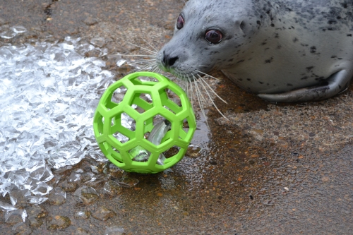 Skinny, a 39 year old harbor seal, enjoys toys, ice, jello and other enrichment items as a regular part of her routine. (courtesy photo oregon coast aquarium)