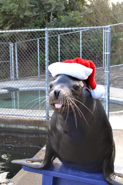 Max the sea lion in a Santa hat