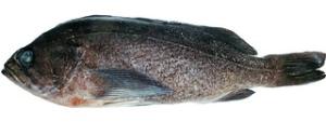 Deacon Rockfish