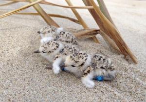 plover chicks_Adam Kotaich small