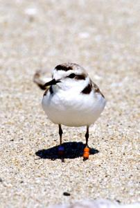 plover front view_Jack Haverty small